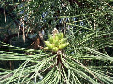 Pinecone №14077