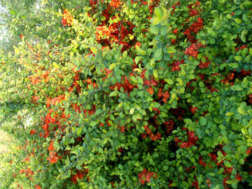 Bush blooms in red №14053