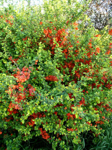 Red flowers on the bush №14052