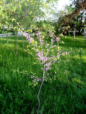 Blooming peach tree №14143