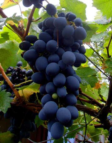 Grapes №14004