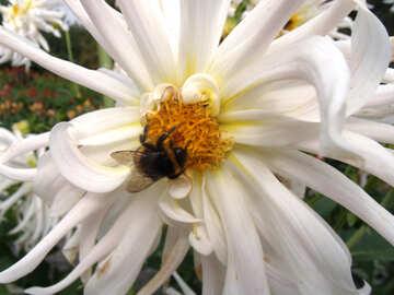 Bumblebee on white dahlia №14257