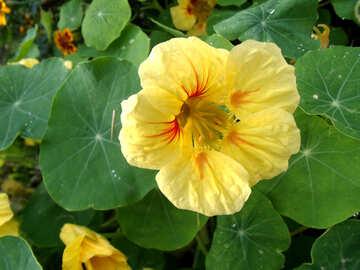 Yellow nasturtium №14230