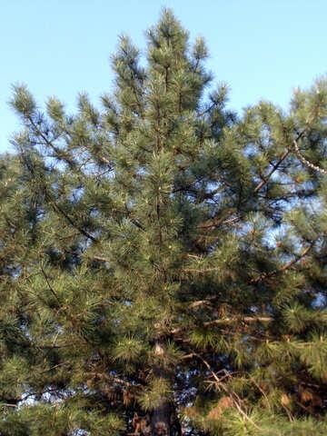 Crimean pine №14040