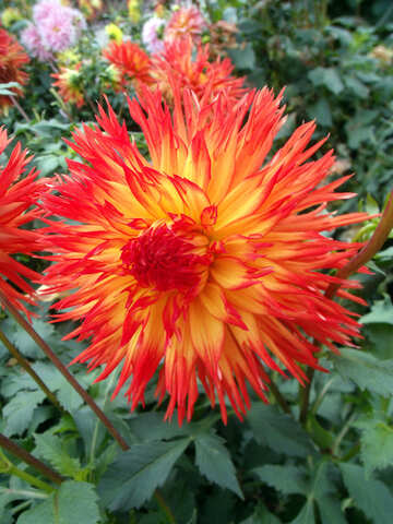 Red-yellow dahlia №14233