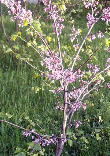Tree blooms pink №14099