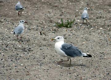 Sea birds on the sand №14410