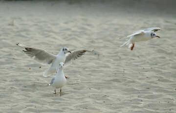 Gulls sand №14445