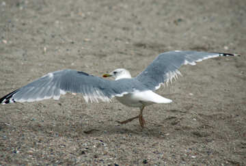 Normal seagull №14401