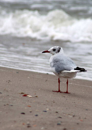 Seagull №14399