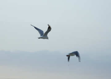 Seagull in flight №14379
