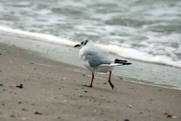 Seagull runs №14447