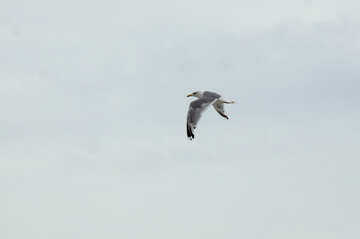Seagull in the sky №14405