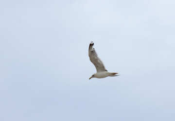 Seagull in the sky №14440