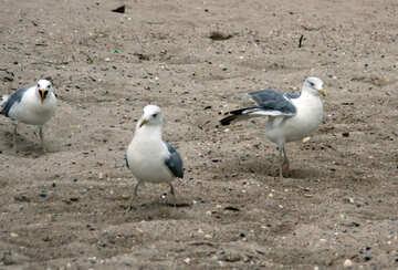 Three seagulls №14377