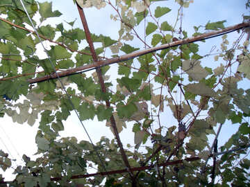 Canopy of grape №14018