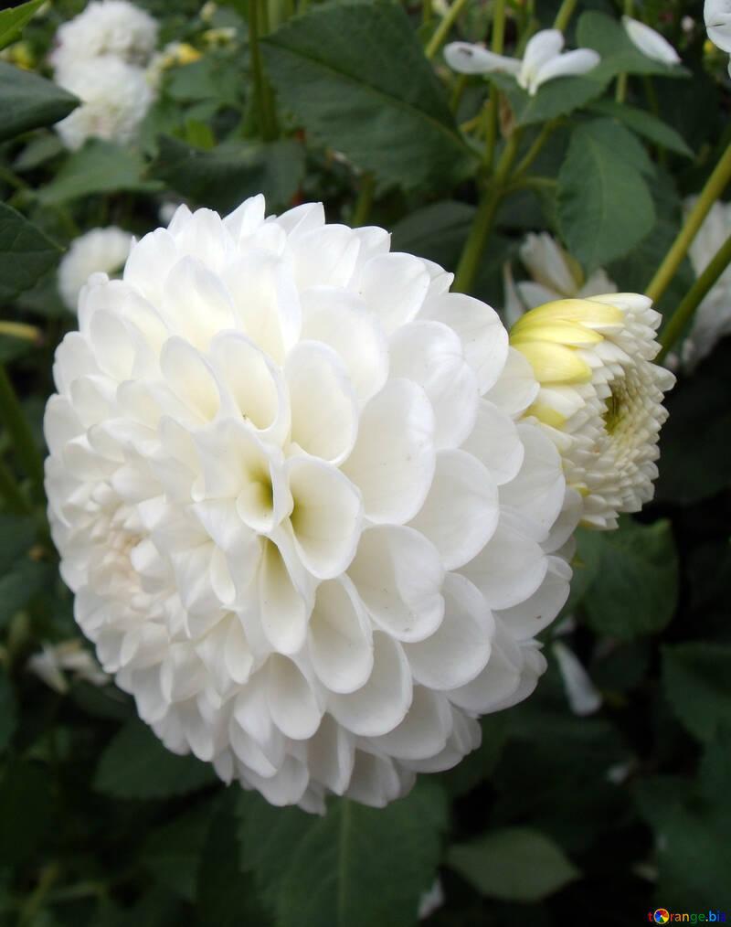 Flowers dahlias white flower dahlia autumn 14338 white flower dahlia izmirmasajfo
