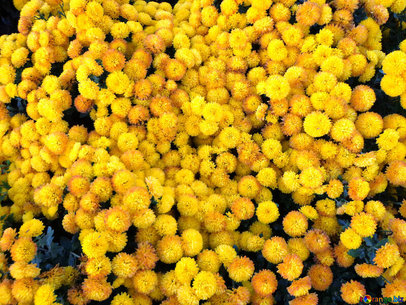 The texture of the yellow carpet of flowers.Chrysanthemum. №14169