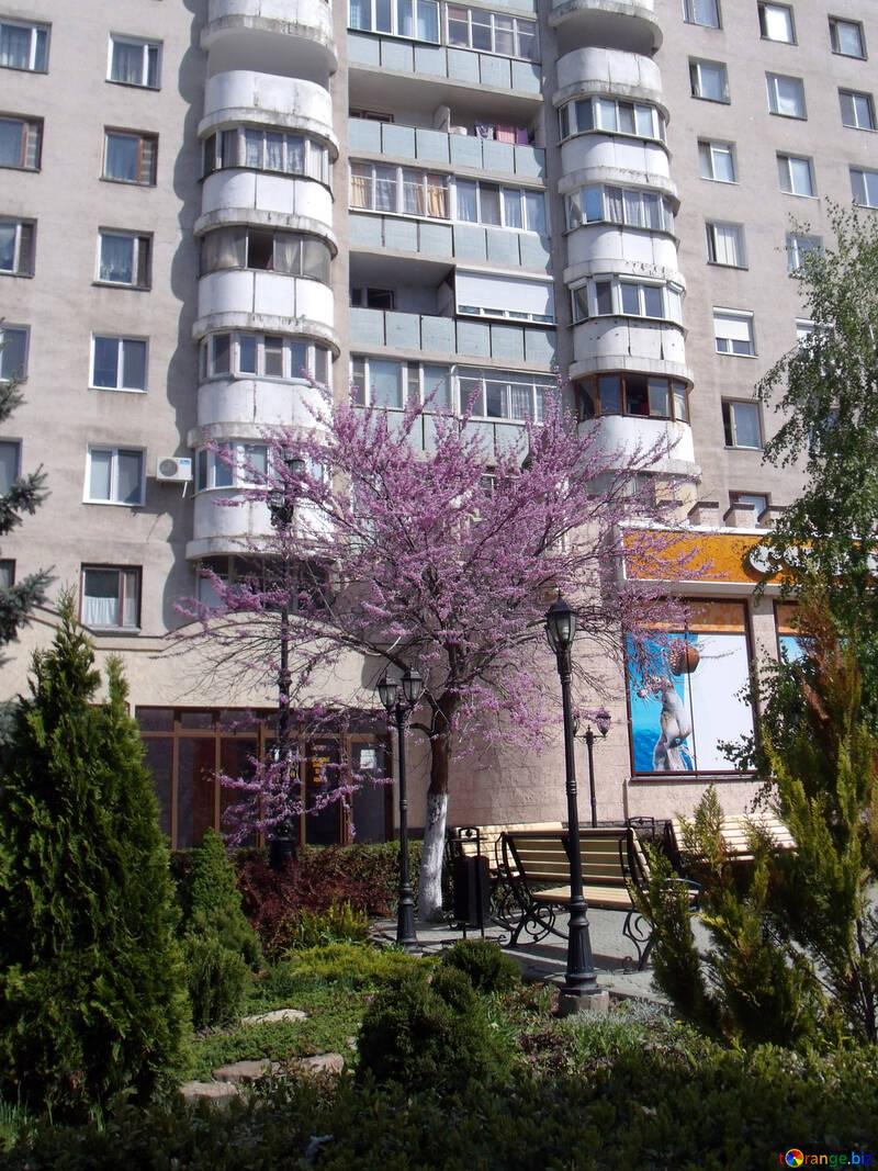 Große Pfirsichbaum in der Stadt №14134