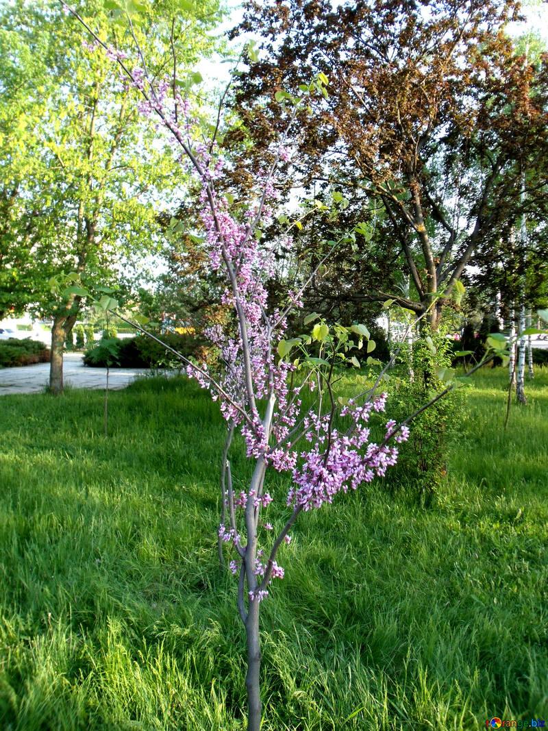 Персик цветет №14041