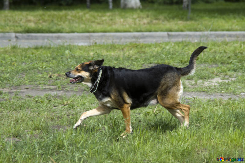 Dog running on the lawn №14705