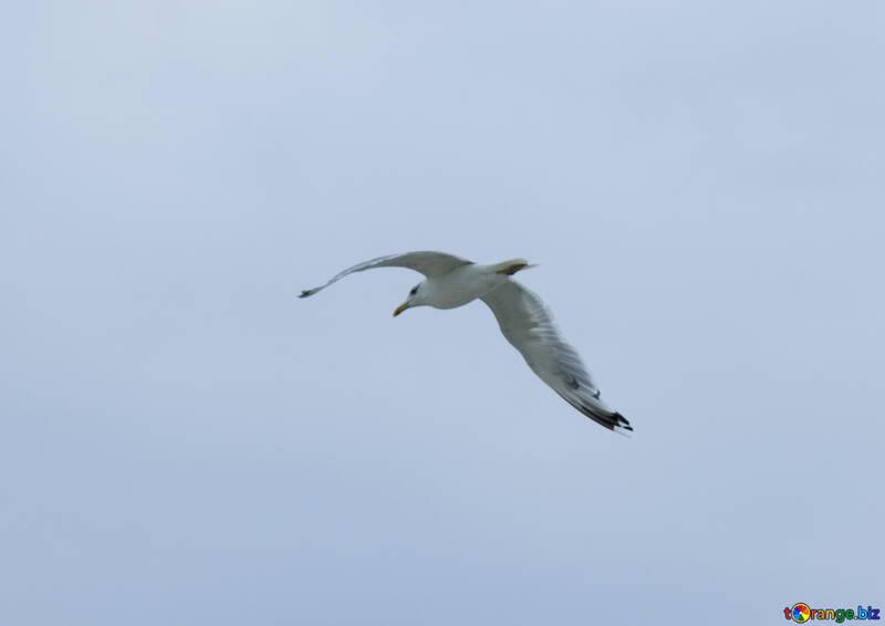 Black Sea Gull №14407