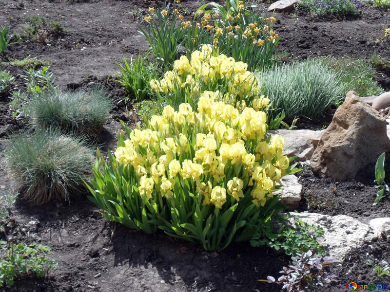 Spring tulips №14109