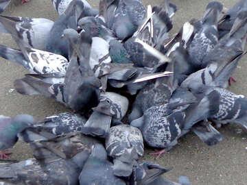 Pigeons №15498