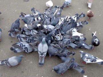 Bunch of pigeons №15499