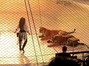 Tiger tamer №15820