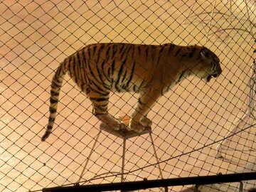 Tiger im Zirkus №15814