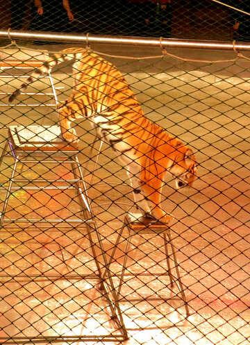 Circus Tiger №15815