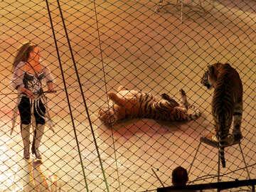 Circus Tiger №15822