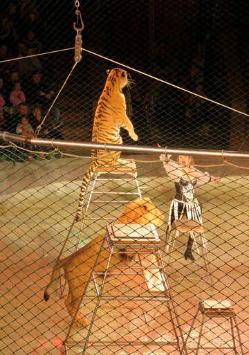 Circus Tiger №15824