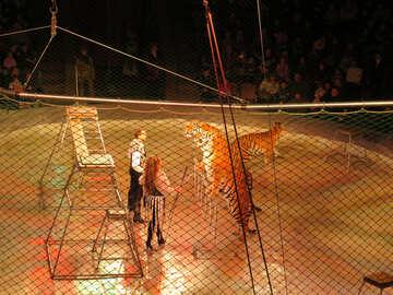 Circus tigers №15833