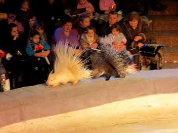 Circus porcupines