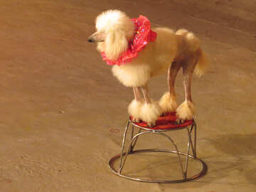 Circus dog №15767