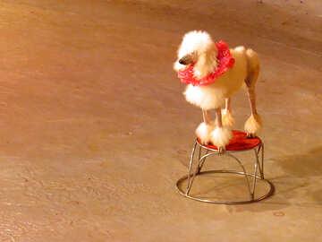 Poodle Grooming №15764