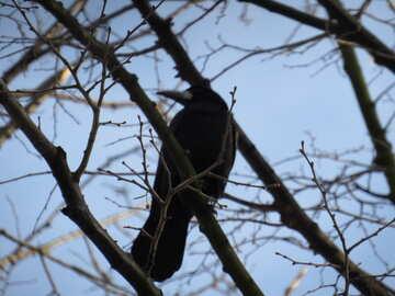Crow on tree №15720