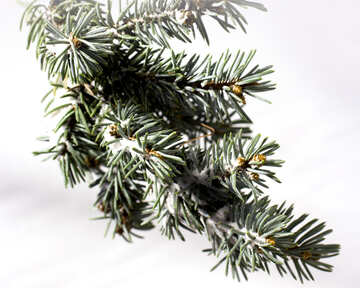 Coniferous branch with snow on white background №15329