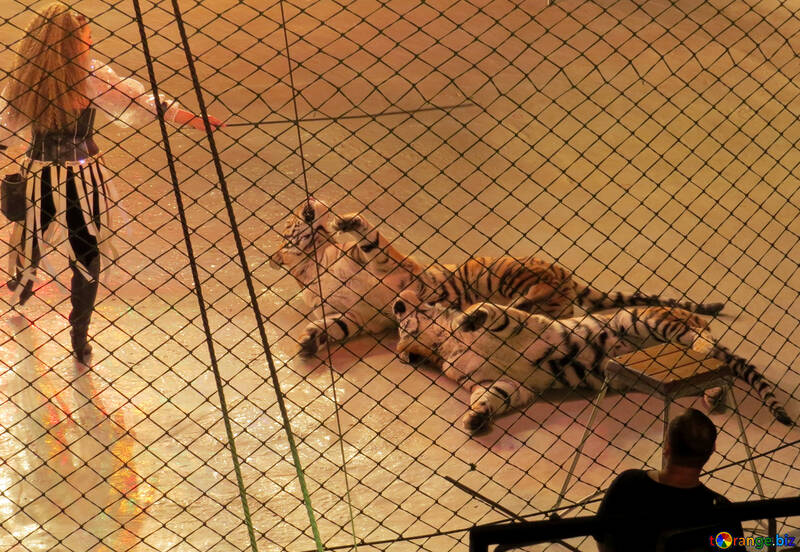 Show with tigers №15819