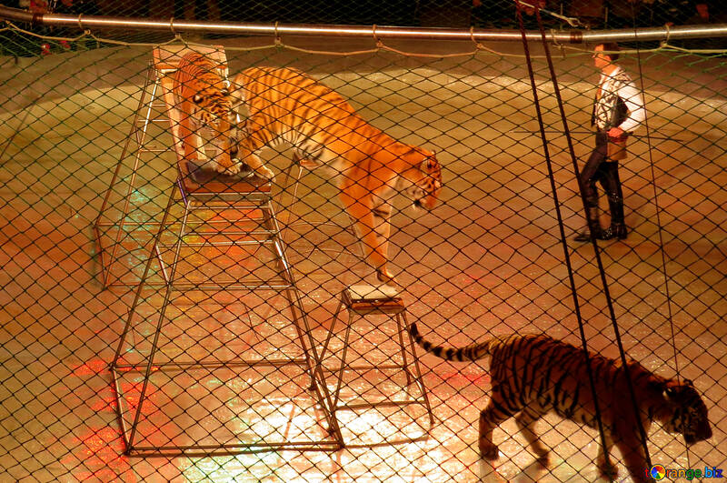 Show with tigers №15826