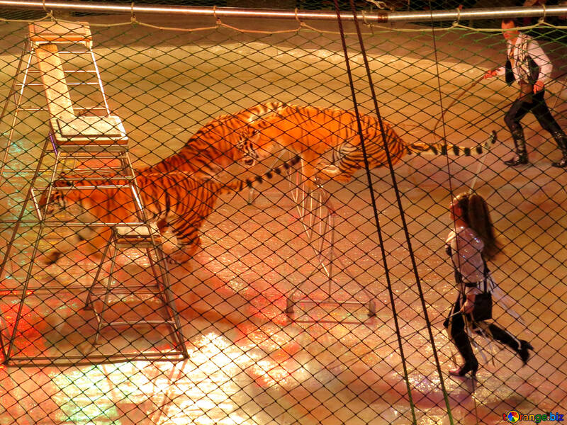 Tigers in cage №15838