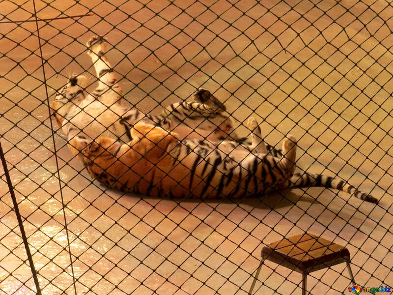 Tigers on the floor №15816