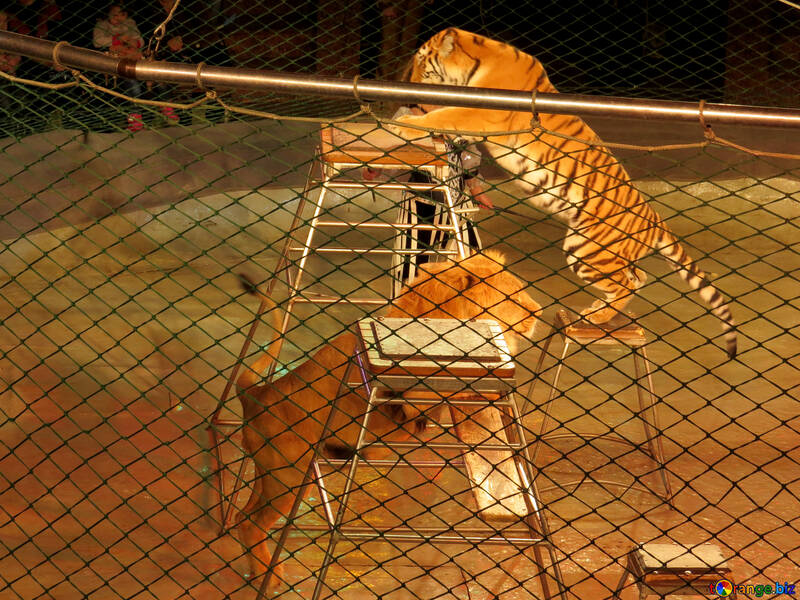 Tigers and Lions in the theater №15825