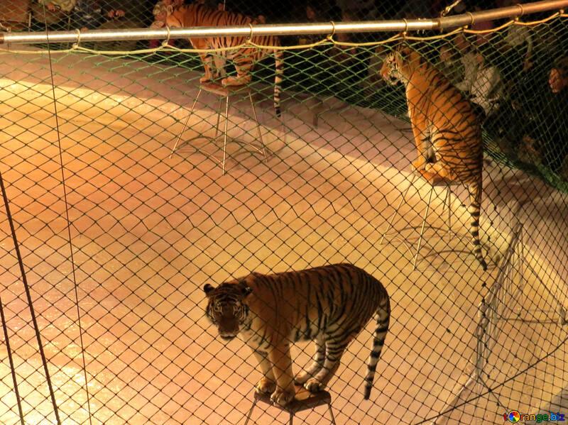 Tigers wait command №15827