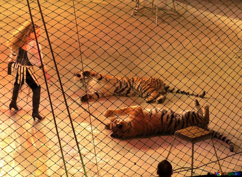 Training Tigers №15817
