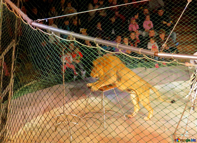 Lion in the circus №15823