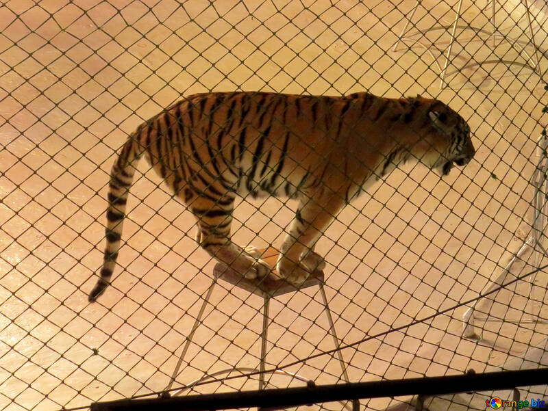 Tiger in circus №15814
