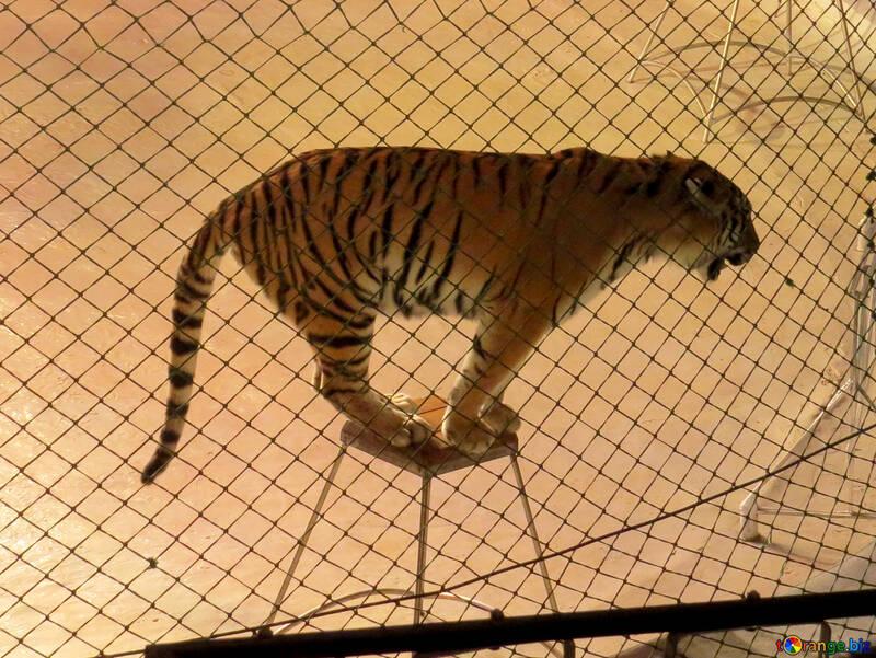 Tiger in circus №15814